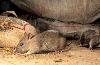 Методы борьбы с мышами и крысами